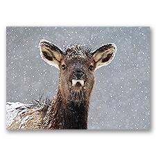 Snowy Elk Calf Card