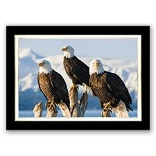 Eagle Trio Card