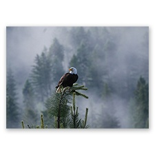Trees for Wildlife Card - Eagle
