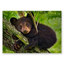 Trees for Wildlife Card - Black Bear